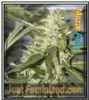 Auto Mazar Just Feminized Mix & Match Seeds